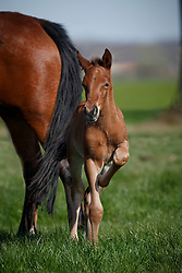 Ponie veulens<br /> Stal Prinsenveld - Maldegem 2017<br /> © Hippo Foto - Dirk Caremans<br /> 25/03/17