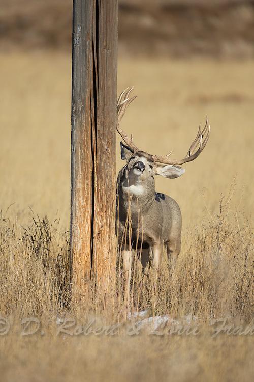 Trophy mule deer buck during autumn rut