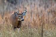 Mature whitetail buck in autumn habitat