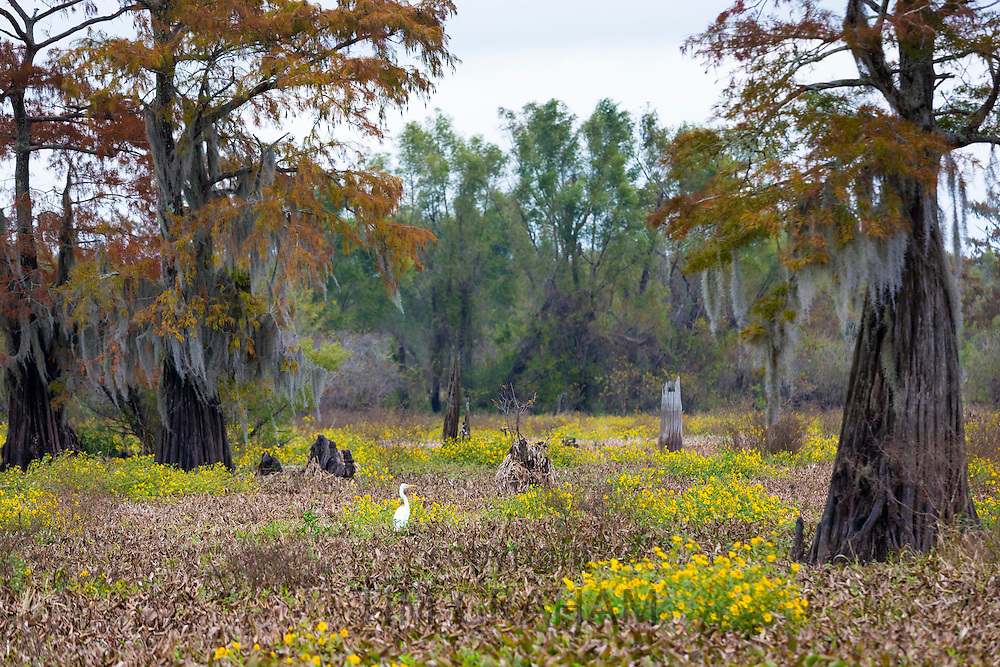 Great Egret bird, Ardea alba, and bald cypress trees in Atchafalaya Swamp National Wildlife Reserve bayou country, Louisiana USA