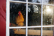 heritage Buff Orpington Rooster in Chicken house window