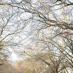 University of Stellenbosch : an avenue of trees in Victoria Street. Photo by Roger Sedres