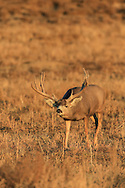 A trophy mule deer buck searches for receptive does during the autumn rut.