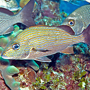 Caesar Grunt inhabit reefs in Tropical West Atlantic; picture taken Little Cayman.