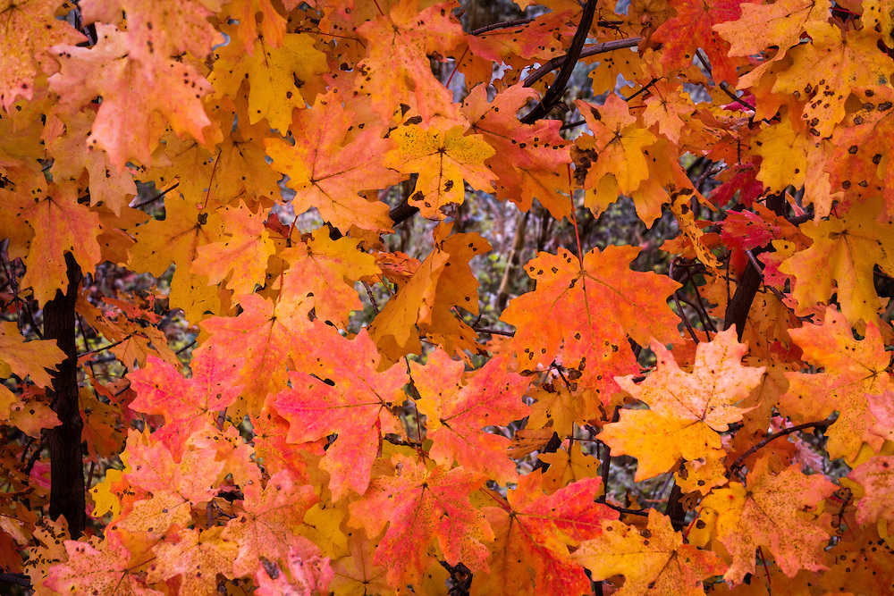 A cluster of maple bright red and orange maples leaves in Utah's Wasatch Mountains.