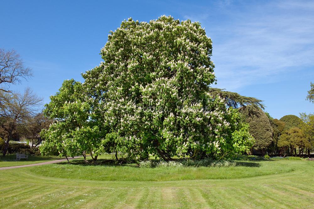 Aesculus hippocastanum (Horse chestnut), West Dean, Chichester, West Sussex, England