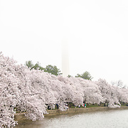 Each spring, the blooming of the nearly 1700 Japanese cherry blossom trees around the Tidal Basin (and about 2000 others nearby) is a major tourist draw for Washington DC. In the background is the Washington Monument partially obscured by low clouds.