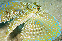 Flying Gurnard, (Dactylopterus volitans), Gozo, Maltese Islands