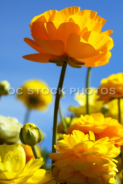 Marigolds Spring Bloom