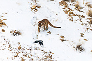 Mountain Lion chasing magpies in Jackson Hole Wyoming