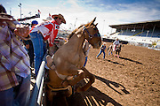 02 NOVEMBER, 2008 -- PHOENIX, AZ: A horse rears up as a saddle bronc ride starts at the Arizona High School Rodeo at the Arizona State Fair in Phoenix. Teams from across the state participate. The Arizona High School Rodeo Association sponsors a full season of high school rodeo that culminate in a championship rodeo in June.  PHOTO BY JACK KURTZ