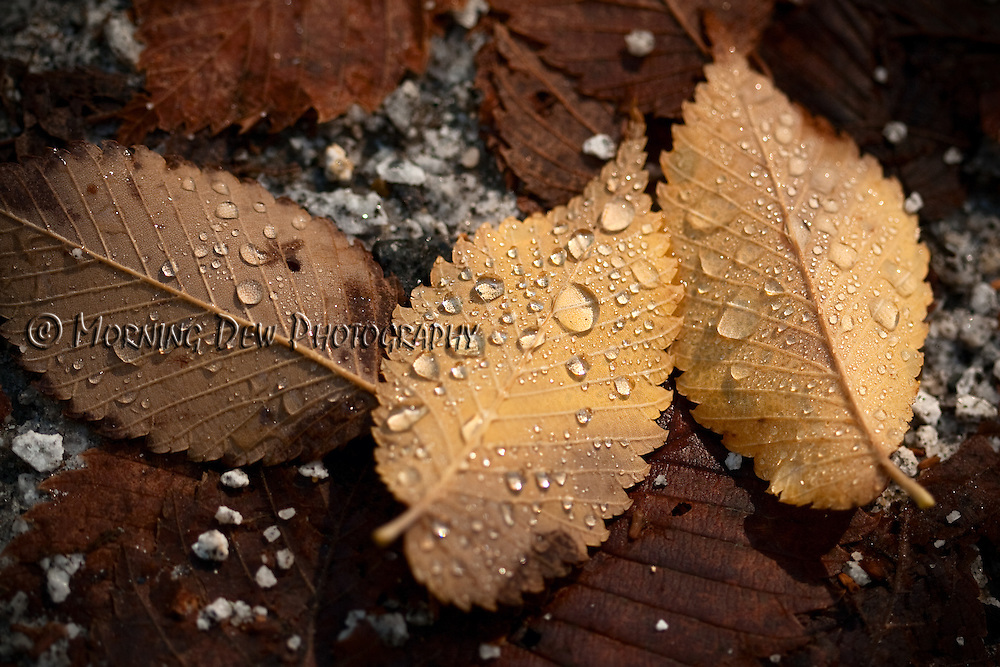Rain drops collect on fallen leaves in Yosemite National Park.