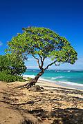 Tree on the Beach in Oahu Hawaii
