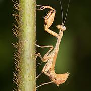 Nymph of Acromantis sp. Mantis. Acromantis is a genus of praying mantis in the subfamily Acromantinae of the family Hymenopodidae.
