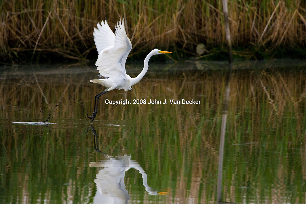 Great Egret flying over salt marsh