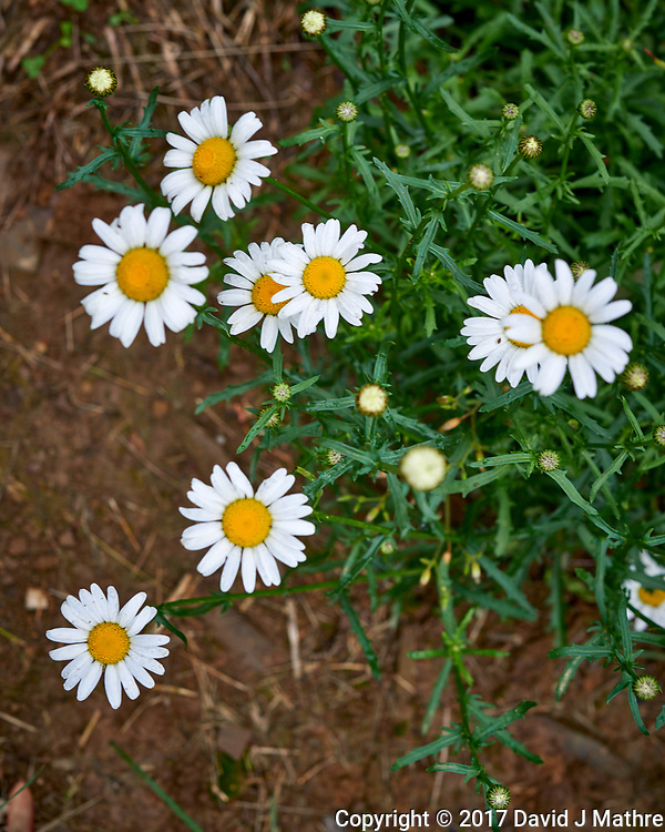 A patch of daisy wildflowers. Backyard spring nature in New Jersey. Image taken with a Nikon D800 camera and 60 mm f/2.8 macro lens (ISO 100, 60 mm, f/8, 1/60 sec).