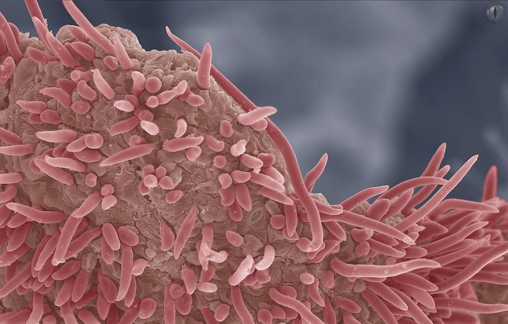 False colour SEM micrograph of a ripe section of peach skin.