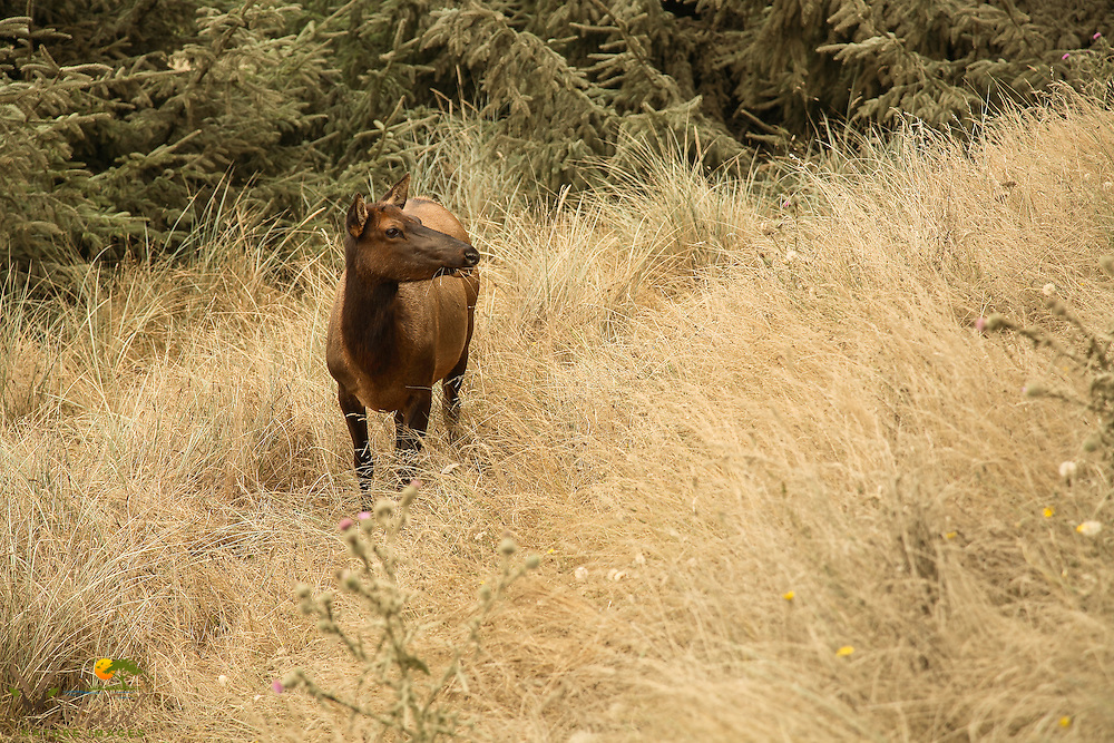 Cow Roosevelt elk with grass in mouth