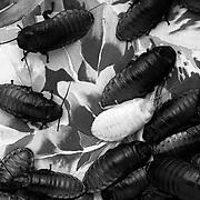 Fresh Molt, Madagascar hissing cockroaches, Gromphadorhina portentosa, Selenium toned gelatin silver print