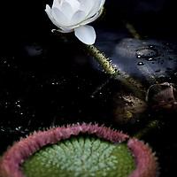 Nederland, Amsterdam , 30 augustus 2010.. In de Hortus Botanicus in Amsterdam bloeit sinds maandagavond half zeven de beroemde Victoria-waterlelie. De bloem bloeit slechts twee nachten en opent zich bij schemer, aldus een woordvoerster. .De Hortus heeft maandagavond speciaal de deuren geopend, zodat belangstellenden de 'koningin der waterlelies' kunnen bewonderen in al haar glorie. De bloem bloeit ongeveer eenmaal per jaar en trekt doorgaans honderden bezoekers..De Victoria is de eerste nacht wit van kleur. De tweede nacht opent de bloem zich opnieuw, maar is dan roze. Na de tweede nacht sluit de bloem zich en verdwijnt dan onder water. .The famous Victoria amazonica is the queen of the water lilies. Her flower opens around dusk. Victoria amazonica has flowered at regular intervals in the Amsterdam Hortus since 1859. In the past, visitors would stand in line during special evening openings to see this enormous water lily. Since 2002, the Hortus has grown different species of Victoria in a special heated outdoor pond. This year a Victoria has been planted in the pond again.