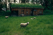 Sheep grazing near historic Norwegian barn, Norwegian Folk Museum, Oslo, Norway..Media Usage:.Subject photograph(s) are copyrighted Edward McCain. All rights are reserved except those specifically granted by McCain Photography in writing...McCain Photography.211 S 4th Avenue.Tucson, AZ 85701-2103.(520) 623-1998.mobile: (520) 990-0999.fax: (520) 623-1190.http://www.mccainphoto.com.edward@mccainphoto.com