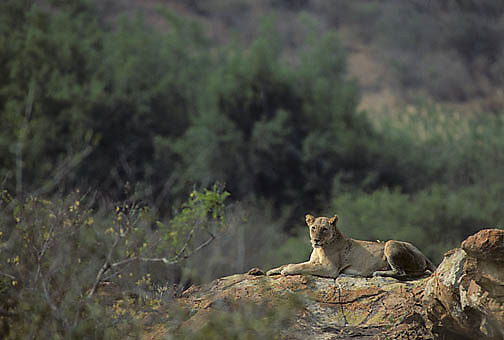 African Lion, (Panthera leo) Adult female resting on rock formation. Other pride members near. Kruger National Park. South Africa.