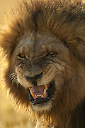 Lion snarling (Panthera leo)<br /> Mombo area. Chief's Island.<br /> Okavango Delta. BOTSWANA. Southern Africa.