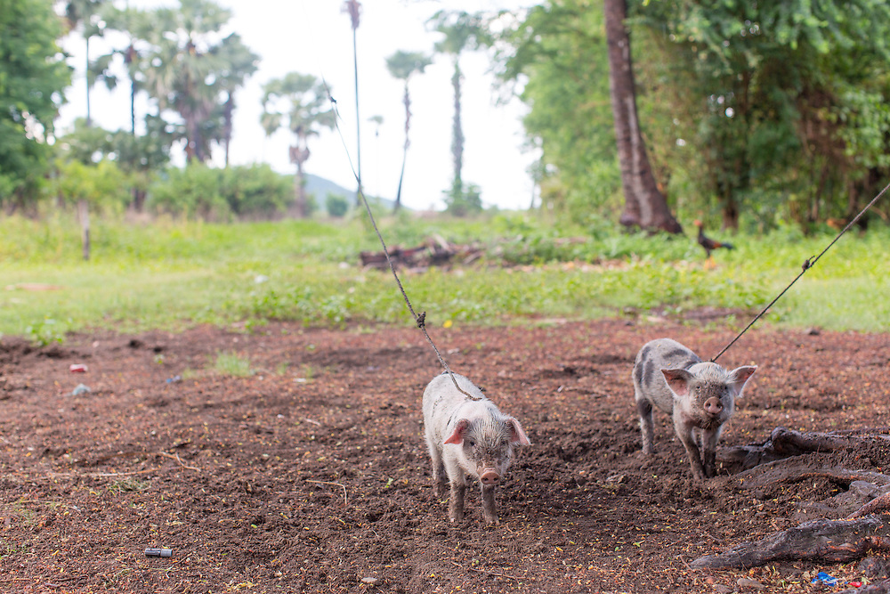 pigs belonging to Duong Sokhon (20)