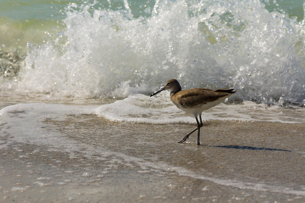 Sandpipers are waders or shorebirds have long bodies and legs but narrow wings.  Their bills are sensitive which allows them to comb through sand and mud to find food.