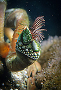 A gooseneck barnacle (Pollicipes polymeru) underwater with its feathery cirri extended for feeding.
