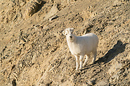 Dall Sheep (Ovis dalli) lamb on Sheep Mountain in Kluane National Park in the Yukon Territory, Canada. Winter. Morning.