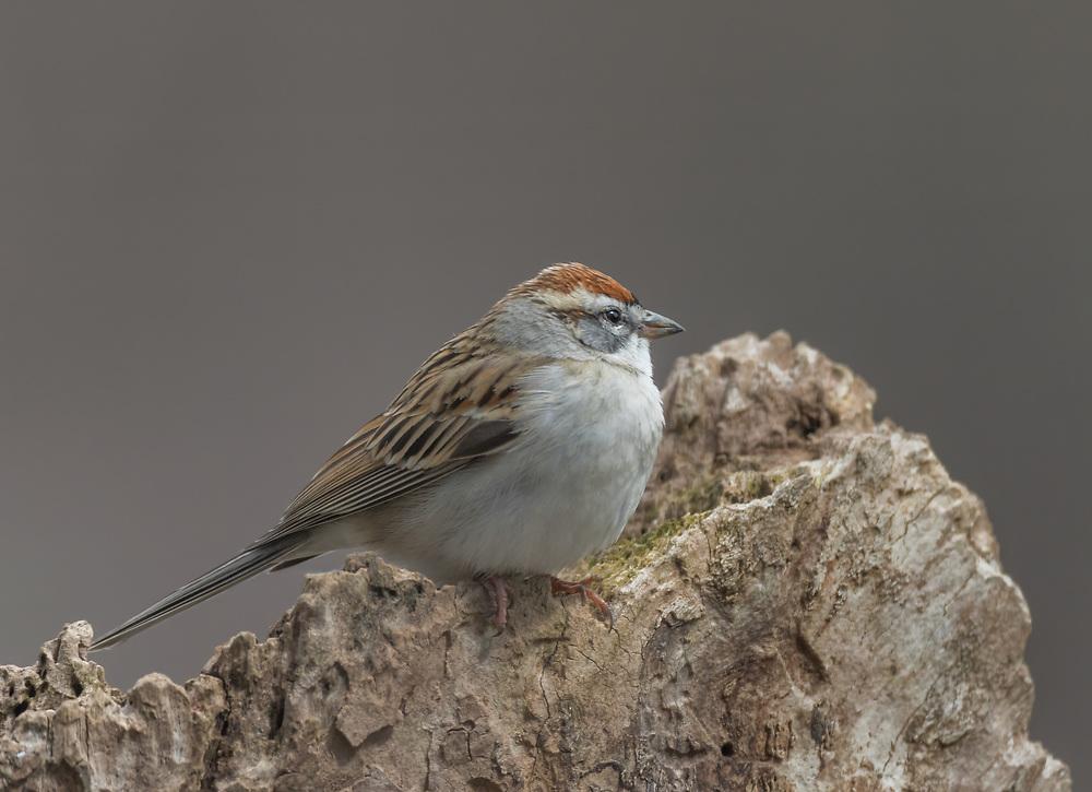 Chipping Sparrow (Spizella passerina), Bernardsville, New Jersey