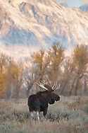 "There's nothing like seeing a bull moose in all his glory, at the height of the autumn rut.  Because of his large size, my friend has nicknamed this beautiful bull, ""Goliath"". What a perfect name for this regal fellow."