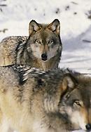 Wildlife Image - Wolf