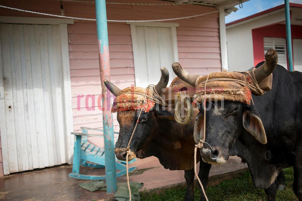 Cuba, Viñales, landscape, farm houses, pink and light blue house, 2 oxen