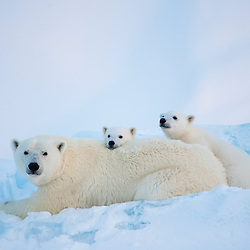 A mother polar bear sniffs the air as her cubs rest on a piece of glacier ice frozen into the Arctic ocean. Baffin Island