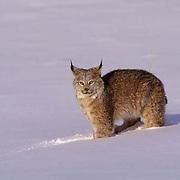 Canada Lynx, (Lynx canadensis) Montana. Portrait. Winter.  Captive Animal.