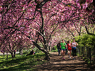 Fitness under the cherry blossoms near the Reservoir in Central Park.