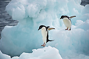 Penguins adelie on Paulettel Island in the Weddell Sea,  January 2010, Antarctica 20100124