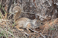 Young rock squirrel explores along the base of a ponderosa pine tree, Kaibab National Forest, AZ, © 2006 David A. Ponton