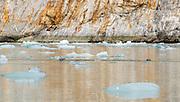 Harbor seals swimming near the Dawes Glacier in Southeast Alaska.