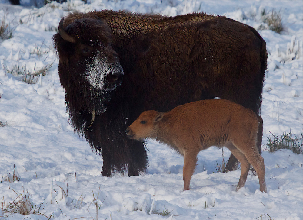 Yellowstone Bison with calf.