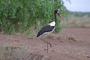 Coloured stork, Ephippiorhynchus senegalensis, Omovalley,Ethiopia,Africa