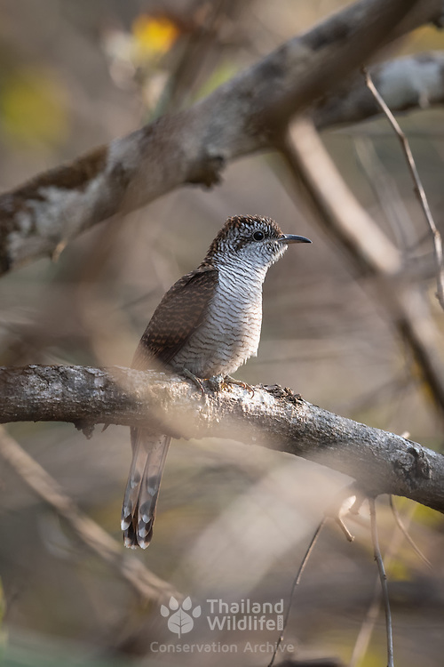 The banded bay cuckoo or bay-banded cuckoo (Cacomantis sonneratii) is a species of small cuckoo found in the Indian subcontinent and Southeast Asia. Like others in the genus they have a round nostril.