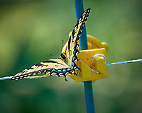 Tiger Swallowtail Butterfly (Papilio glaucus). Image taken with a Nikon D5 camera and 80-400 mm VRII lens
