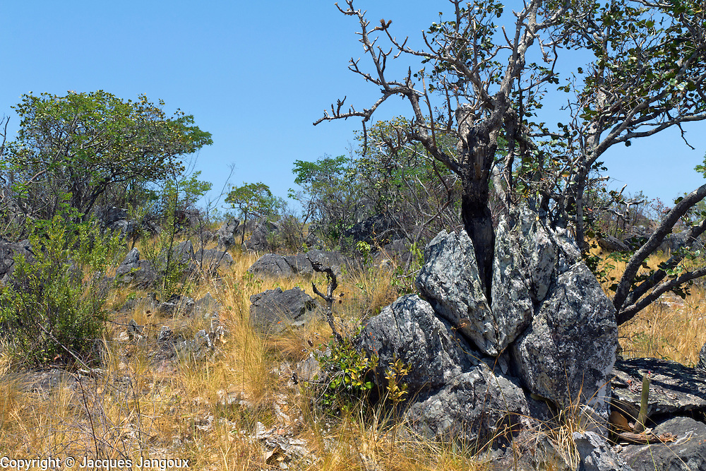 Savanna (called cerrado in Brazil) biome: saxicolous vegetation (rupestrian grasslands) (campos rupestres): vegetation among rocks. Brazilian Highlands, Goias State, Brazil. Tree is Wunderlichia cruelsiana (Compositae - Asteraceae)