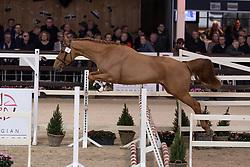 002, Qualoubet van't Zorgvliet<br /> Hengstenkeuring BWP - Lier 2019<br /> © Hippo Foto - Dirk Caremans<br /> 18/01/2019