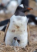 Gentoo penguin (Pygoscelis papua) with it's off-spring at Sea Lion Island, the Falklands.