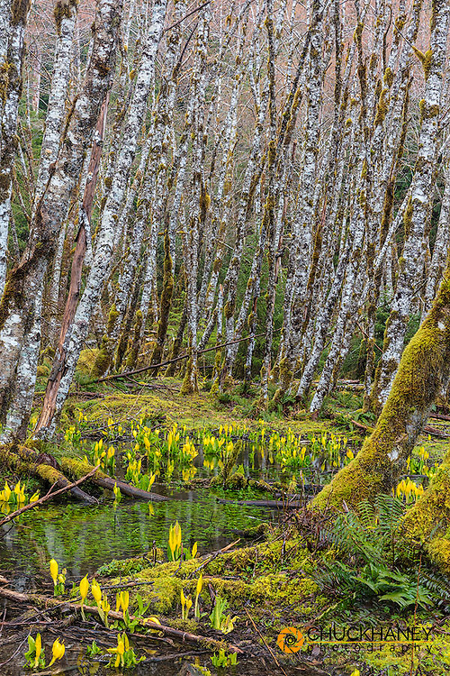 Skunk cabbage and alder forest in the Sol Duc Valley of Olympic National Park, Washinton, USA
