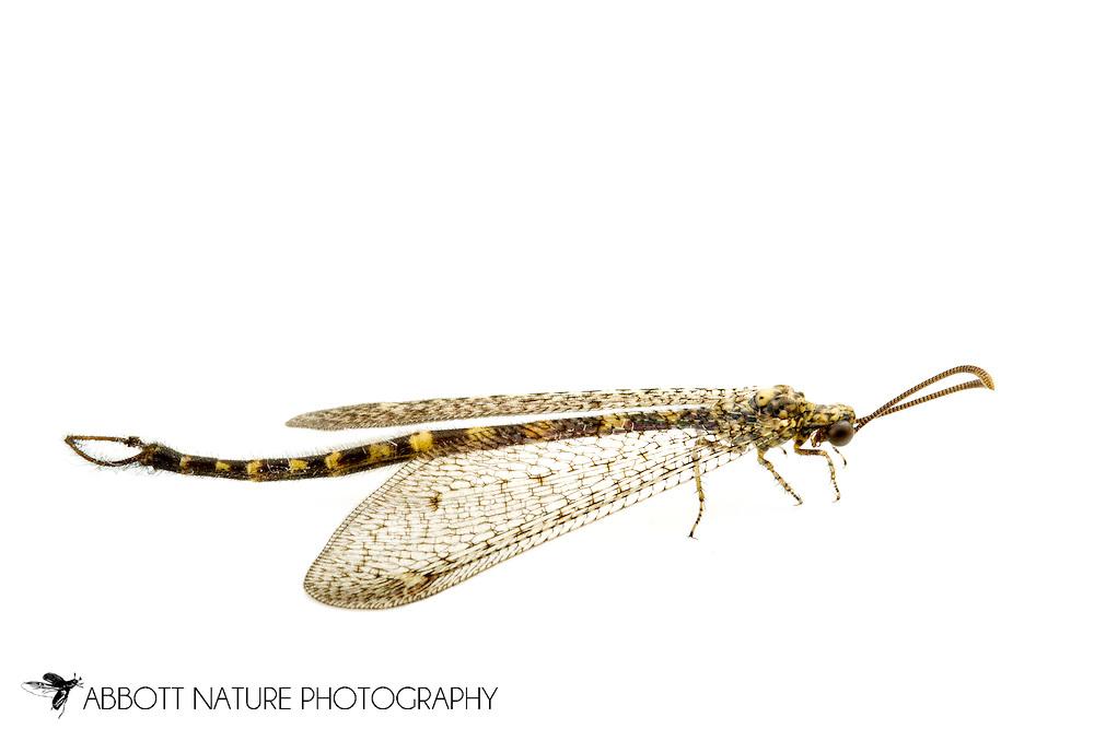 Ant Lion (Brachynemurus sackeni)<br /> TEXAS: Travis Co.<br /> Barton Creek Preserve; Bee Caves<br /> 22.May.2012<br /> J.C. Abbott #2593 &amp; K.K. Abbott